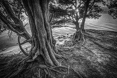 Island Trees (MichaelSOwens) Tags: fort clinch state park amelia island fernandina florida southern red cedar river bank monochrome blackwhite