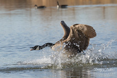 Canada Goose defends its territory