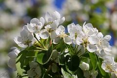 A bunch of cherry blossoms (superhic) Tags: proleće spring 2017 priroda nature bokeh cherry flower tree flowertree behar blossom