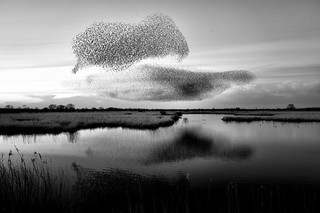 A Mumuration, RSPB - Otmoor Reserve