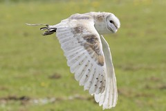 Tyto alba (Doyleecart Photography) Tags: ngc tytoalba raptor birdofprey glastonburyabbey flight hunting prowess bokeh westcountry mendip doyleecart england uk europe owl wildlife nature