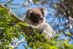 Koala D50_6182.jpg (Mobile Lynn) Tags: wild koala nature marsupials fauna marsupial wildlife macgillivray southaustralia australia au coth specanimal sunrays5 ngc coth5
