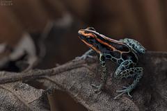Red-backed poison frog (Ranitomeya ventrimaculata) (ggallice) Tags: dartfrog poisondartfrog dendrobatidae yasuninationalpark amazon rainforest jungle southamerica ranitomeya ventrimaculata ranitomeyaventrimaculata