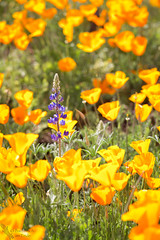 Lupine in a field of poppies (Squirrel Girl cbk) Tags: 2017 arizona march mexicangoldpoppies peridotmesa sancarlosreservation lupine wildflowers explore