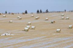 Spring is in the air it's mini wheat season again (davebloggs007) Tags: mini wheat mating season alberta canada