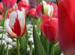 Tulips - Is there any colour they don't do! @marlaypark (salsol - Sham'C ♈) Tags: bokeh music nature soft love photography always beleza plant blossom outdoor serene red rhymes depth field jardim do bright the closer macro garden tulips tulip flower