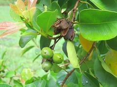 Xanthostemon oppositifolius 4 (barryaceae) Tags: booderee national park jervis bay nsw australia arfps australian rainforest plant