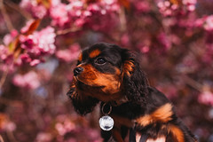 Giles (Mark Liddell) Tags: giles cavalier king charlies spaniel puppy black tan blackandtan fur coat flat face cute bokeh outdoors glasgow scotland muzzle snout funny dog pet pedigree animal round eyes sunlight sunny collar tag cherry blossoms spring bloom flowers pink