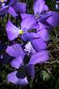 Viola calcarata (Alpine Pansy) (Hugh Knott) Tags: violacalcarata alpinepansy flora zermatt switzerland valais violet helvetica