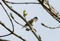blackcap male (Yvonne Alderson) Tags: blackcap warbler male tree spring county durham tees