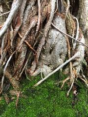 Moreton bay fig (Ficus macrophylla) (redwolfoz) Tags: moretonbayfig fig ficusmacrophylla moss plant tree garden