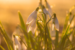 Snow drops at the first light of day