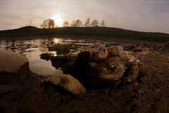 Love at the sunset (Michele Remonti) Tags: commontoad bufobufo bufo toad rospo sunset pond stagno tramonto accoppiamento mating