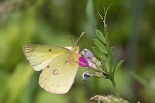 Clouded Sulfur Plume Butterfly at Bombay Hook on 4-23-2017-3