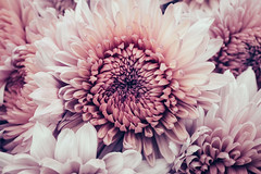 1.618 (Alex Cruceru) Tags: 2015 mathematics closeup flowers fujifilm macro mirrorless nature petal x100s 1618 petals flower centered beautiful pink white creamy simple