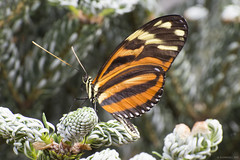 Butterfly 2017-18 (michaelramsdell1967) Tags: beauty spring color macro light animals beautiful closeup natural butterfly animal insect vivid garden insects wildlife pine vibrant bug butterflies bugs