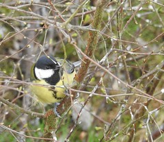 great tit Parus major paridae (BSCG (Badenoch and Strathspey Conservation Group)) Tags: bird badenoch gt