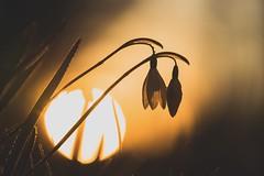 I follow the sun (--StadtKind--) Tags: sonnenuntergang dusk sunset sun snowdrop stadtkind sonyfe2890macrogoss sonyilce7m2 sonyalpha alphaddicted teamsony dof backlight bokeh flower