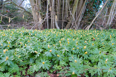 IMG_0499 (cgregory1984) Tags: spring photography woodland aconite
