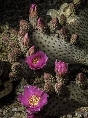 Beavertail Cactus Buds And Blooms (Bill Gracey 15 Million Views) Tags: opuntiabasilaris beavertailcactus beavertailpricklypear offcameraflash lastoliteezbox softbox nature naturalbeauty macrolens yongnuo trigger lakeside