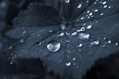 BlueDrops (tiki.thing) Tags: leaf plant rain blue raindrop waterdroplet shine water leaves wet garden macro