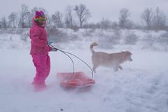 Winter Wonderland (Vivian J.D.) Tags: snow winter dog goldenretriever sled sledriding snowdrift