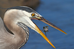 Oh oooooh! (bmse) Tags: great blue heron fish catch bolsa chica canon 7d 400mm f56 l bmse salah baazizi wingsinmotion