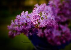 LILAC DAWN (Aspenbreeze) Tags: lilacs flowers lavendarflowers nature springblooms blooms buds vase bevzuerlein aspenbreeze moonandbackphotography