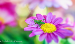 Spring Breakfast (frederic.gombert) Tags: grasshopper light sun color colors colored pink macro nikon flower flowers d810 his
