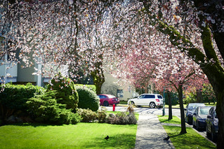 Plum Blossoms Finally Start Blooming in Vancouver BC Canada
