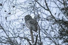 Ural owl in natural habitat - strix uralensis (♥Oxygen♥) Tags: owl bird tree animal wildlife branch winter closeup wisdom mystery conservation view day majestic head feather awe solitude twilight one gray portrait contemplation great beauty individuality eyesight background wild nature vertebrate staring ural popular beast aves limb avian raptor diurnal white zoology creature undomesticated snow strixuralensis uralowl wildbird altai altay