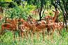Kruger, March 2017 -  Siblings (Katarina 2353) Tags: kruger southafrica impalas bush africa katarina2353 katarinastefanovic
