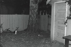 Ping Pong in the neighbor's yard (rootcrop54) Tags: blackandwhite analog pingpong female cat neighbor yard dusk macska kedi 猫 kočka kissa γάτα köttur kucing gatto 고양이 kaķis katė katt katzen kot кошка mačka maček kitteh chat ネコ