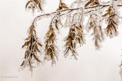 IMG_5359 (Pierdz) Tags: traves arbre feuille forêt givre hiver