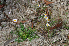 Daisy among the lichens (Jenny Thynne) Tags: flower plant australiannativeplant greenlands sequeensland granitebelt lichens daisy brachyscome