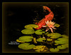 Coy Koi (Visions by Vincent) Tags: koi waterlily pon pond greatphotographers fantasticnature fish selbygardens