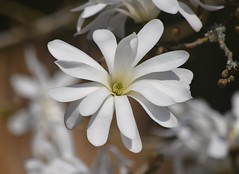 Magnolia (careth@2012) Tags: magnolia flower petals spring nature
