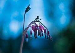 Searching for Stars (marionrosengarten) Tags: bleedingheart flower plant green park garden tränendesherz pink traurig nikon nikon50mmf18
