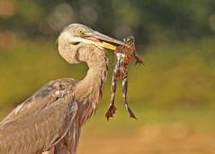 Nice catch! (hennessy.barb) Tags: heron greatblueheron bullfrog bird wadingbird nicecatch heronwithprey barbhennessy