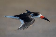 PreSkimmer (gseloff) Tags: blackskimmer bird flight bif surf bolivarflatsshorebirdsanctuary houstonaudubonsociety galvestoncounty texas gseloff