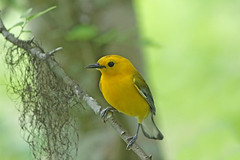 Prothonotary Warbler (Alan Gutsell) Tags: bird birding wildlife naturephoto photo prothonotary warbler prothonotarywarbler statepark state park songbird migration texasbirds texas