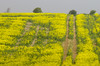 Rape Seed Field On The Sussex Downs (grahambrown1965) Tags: pentaxistds smcpentaxf300mmf45edif pentax istds 300mm sussex downs sussexdowns rapeseed field rapeseedfield smcpf300mmf45edif