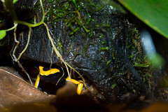 Under coco (ippi1987) Tags: nikon d3200 coco under frog animal anura dendrobates leucomelas banded yellow black