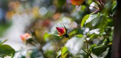 ILCE-6000-05640-20170408-1402-Pano // Carl Zeiss Jena Tessar 50mm 1:2.8 (Otattemita) Tags: 50mmf28 carlzeissjena carlzeissjenatessar50mmf28 florafauna fauna flora flower nature plant wildlife carlzeissjenatessar50mm128 sony sonyilce6000 ilce6000 36mm cnaturalbnatural ota