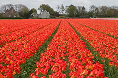 Red Tulips (Roelie Wilms) Tags: scherpgesteld hogekwaliteit tulips tulpen tulp nederland lisse dutchtulips rood red