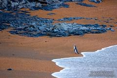 Yellow-eyed Penguin (Judd Patterson) Tags: yelloweyedpenguin newzealand penguin bird beach surf hoiho