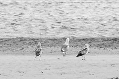 Mouettes frontignan plage (Asthon_Madera) Tags: mer plage sud france sigma nikon d3200 70300 seagull mouettes noir et blanc zoom black white nb bw palmier water sea ocean animals nature sun avril pre summer easter eggs paques photo shoot raw jpg lightroom photoshop