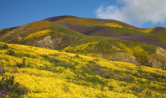 Candy Mountain, 2017 (DM Weber) Tags: carrizo plain national monument cpnm california flowers candy mountain yellow coreposis orgain blazing star purple phacelia landscape psa148 dmweber flower caprets canon eos5dmk2