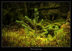 so very young (tiggerpics2010) Tags: scotland nature westhighlands woodland moss mossy trees growth life green river