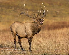 Tasting the Air (Jerry Fornarotto) Tags: animal antlers autumn big biggame buck bull cr2017 deer elk flehmen flehming forest game grass horns hunt hunting jerryfornarotto madison madisonriver mammal meadow mist nationalpark nature outdoor reproductivebehavior river rut september stag trophy west western wild wildlife wyoming yellowstone yellowstonenationalpark mating